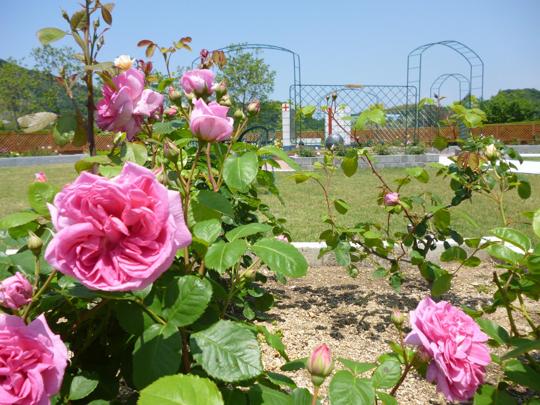 rose20140522-2